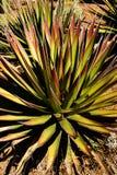 Agawy palona z igielnymi ostrymi liśćmi, Obrazy Royalty Free