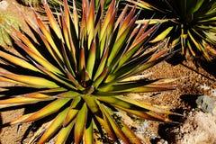 Agawy palona z igielnymi ostrymi liśćmi, Obraz Stock