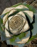 Agawy pitera rżnięta roślina od śródziemnomorskiego sedna Zdjęcia Stock