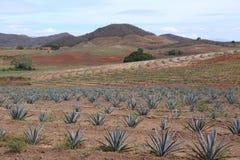 Agawy pole dla Tequila produkci, Jalisco, Meksyk Zdjęcia Royalty Free