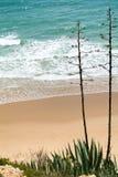 Agawy przy plażą z morzem w tle Obraz Stock