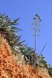 agawy roślina śródziemnomorska halna Obraz Royalty Free