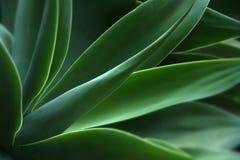 agawy roślina Zdjęcia Stock