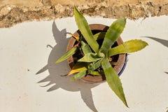 Agawy roślina na biel ścianie Zdjęcie Royalty Free