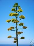 Agawy roślina na niebieskiego nieba tle na Malta zdjęcie stock