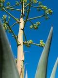 Agawy roślina przedłużyć w kierunku nieba Obrazy Royalty Free