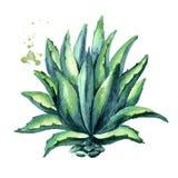agawy roślina Wręcza patroszoną akwareli ilustrację, odizolowywającą na białym tle ilustracja wektor