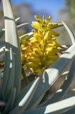 agawy roślina z żółtym kwiatem Obraz Royalty Free