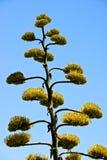 Agawy roślina z żółtymi kwiatami Zdjęcie Royalty Free