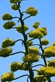 Agawy roślina z żółtymi kwiatami Obrazy Royalty Free