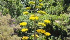 Agawy roślina z żółtymi kwiatami Zdjęcia Stock