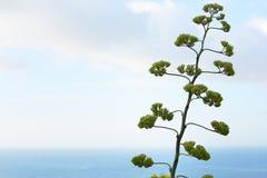 Agawy roślina z morze śródziemnomorskie widokiem i kwiat Obrazy Stock