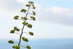 Agawy roślina z morze śródziemnomorskie widokiem i kwiat Obrazy Royalty Free