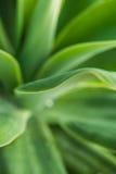 Agawy rośliny liścia kształty i przyjemni zieleni kolory Obraz Stock