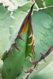 Agawy rośliny liście Zdjęcie Stock