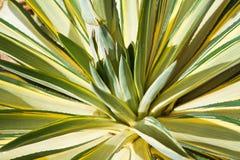 Agawy rośliny liście Zdjęcia Royalty Free