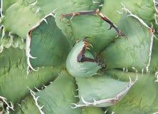 Agawy rośliny liście Zdjęcie Royalty Free