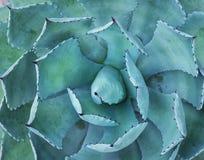 Agawy rośliny liście Obrazy Royalty Free