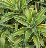 Agawy rośliny liście Obraz Royalty Free