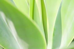 Agawy rośliny zakończenie up Zdjęcie Royalty Free