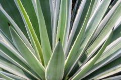 Agawy rośliny zakończenie up Zdjęcia Royalty Free