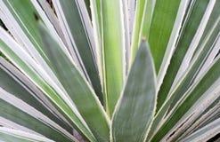 Agawy rośliny zakończenie up Obraz Stock