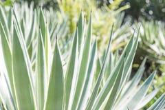 Agawy rośliny zakończenie up Fotografia Royalty Free