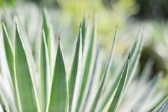 Agawy rośliny zakończenie up Fotografia Stock