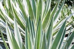 Agawy rośliny zakończenie up Zdjęcia Stock