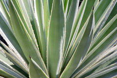 Agawy rośliny zakończenie up Obrazy Stock