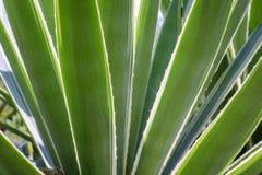 Agawy rośliny zakończenie up Zdjęcie Stock
