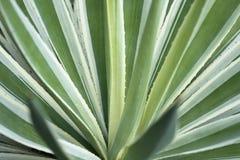 Agawy roślina Fotografia Stock