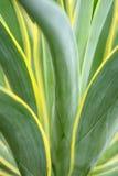 Agawy roślina Obraz Royalty Free