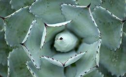 Agawy roślina Obrazy Royalty Free