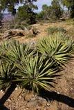 agawy roślina Obraz Stock