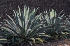 agawy roślina Zdjęcia Royalty Free