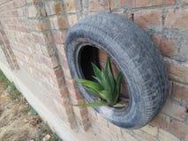 AGAWY roślina /AGAVE FELFIRA Obrazy Stock