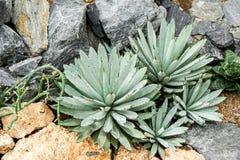 Agawy roślina, Parryi Fotografia Royalty Free