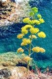 Agawy roślina w Cinque Terre, Liguria Zdjęcia Stock