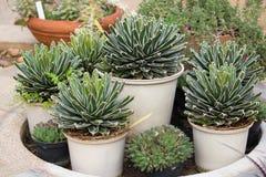 Agawy roślina w doniczkowy dekoracyjnym Fotografia Royalty Free