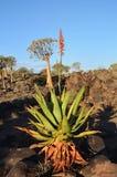 Agawy roślina w Namibia Zdjęcie Stock