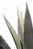 Agawy roślina w ogródzie Zdjęcia Stock