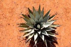 Agawy roślina w pustyni Obraz Stock