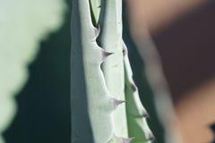 Agawy rośliny ciernie Zdjęcia Royalty Free