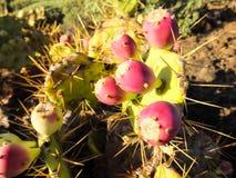 Agawy rośliny Kaktusowy kwitnienie Zdjęcie Royalty Free