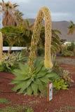 Agawy rośliny kwiat Zdjęcia Royalty Free