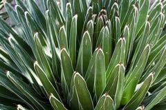 agawy rośliny sukulent Zdjęcia Royalty Free