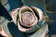 agawy rośliny usection Zdjęcia Stock