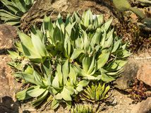 Agawy shawii z pospolitych imion agawy lub Shaw ` s nabrzeżną agawą, jest bardzo rzadki roślina wymienia dla Henry Shaw założycie Zdjęcia Stock