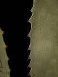 Agawy Spiny Makro- zbliżenie Obraz Stock